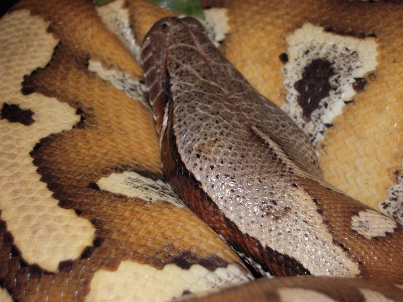 Quelques clichés de mes pythons (suite) Dscn1524