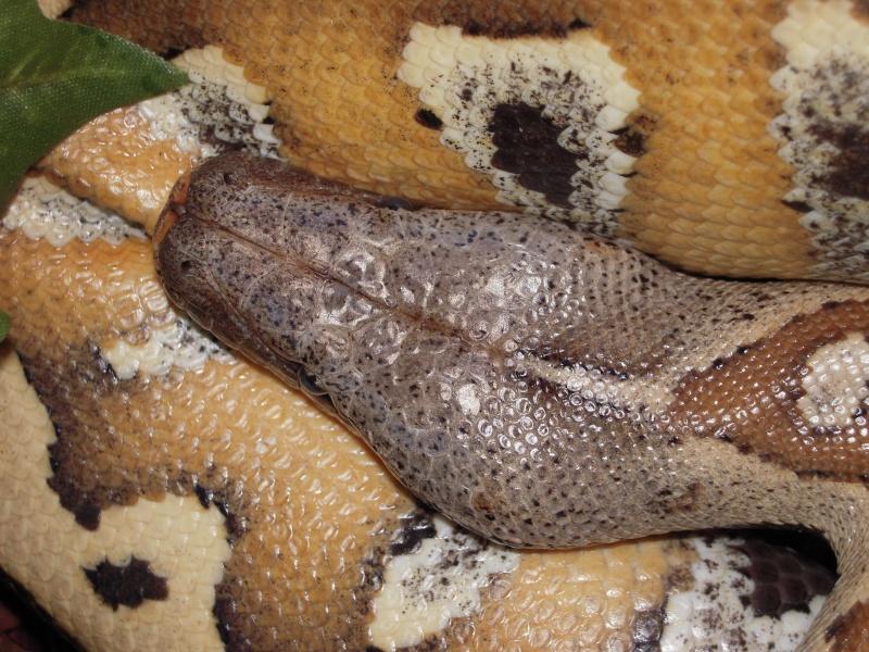 Quelques clichés de mes pythons (suite) Dscn1525