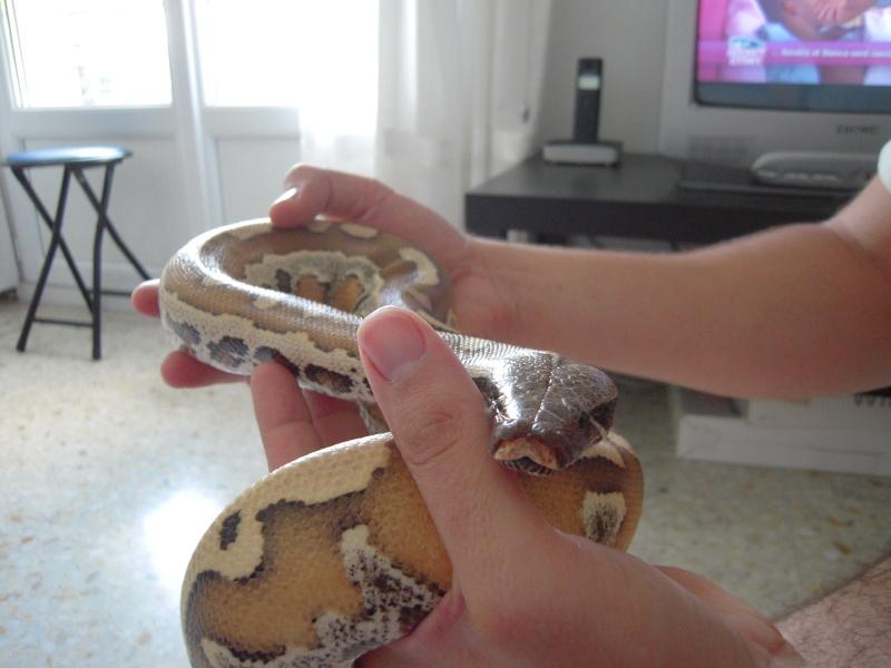 Quelques clichés de mes pythons (suite) Dscn1526