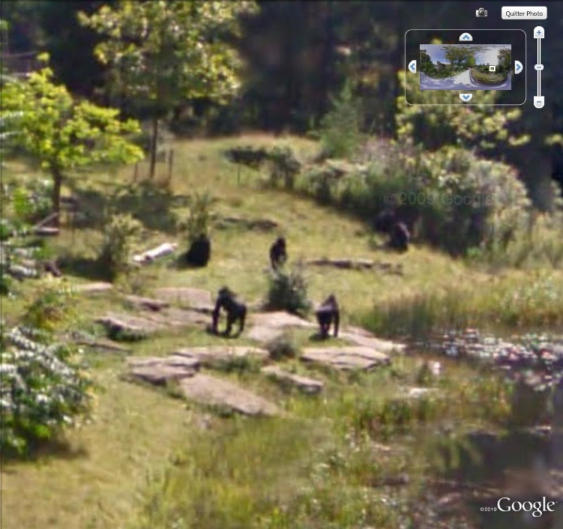 STREET VIEW : Les animaux - Page 4 Gorill10