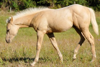 poulain QH palomino Arrow_10