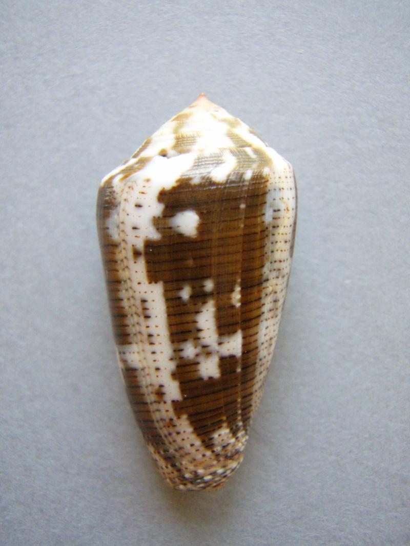 Conus (Pionoconus) striolatus decurtatus (Dautzenberg, 1910) Voir Conus (P.) striolatus 1-1_3910