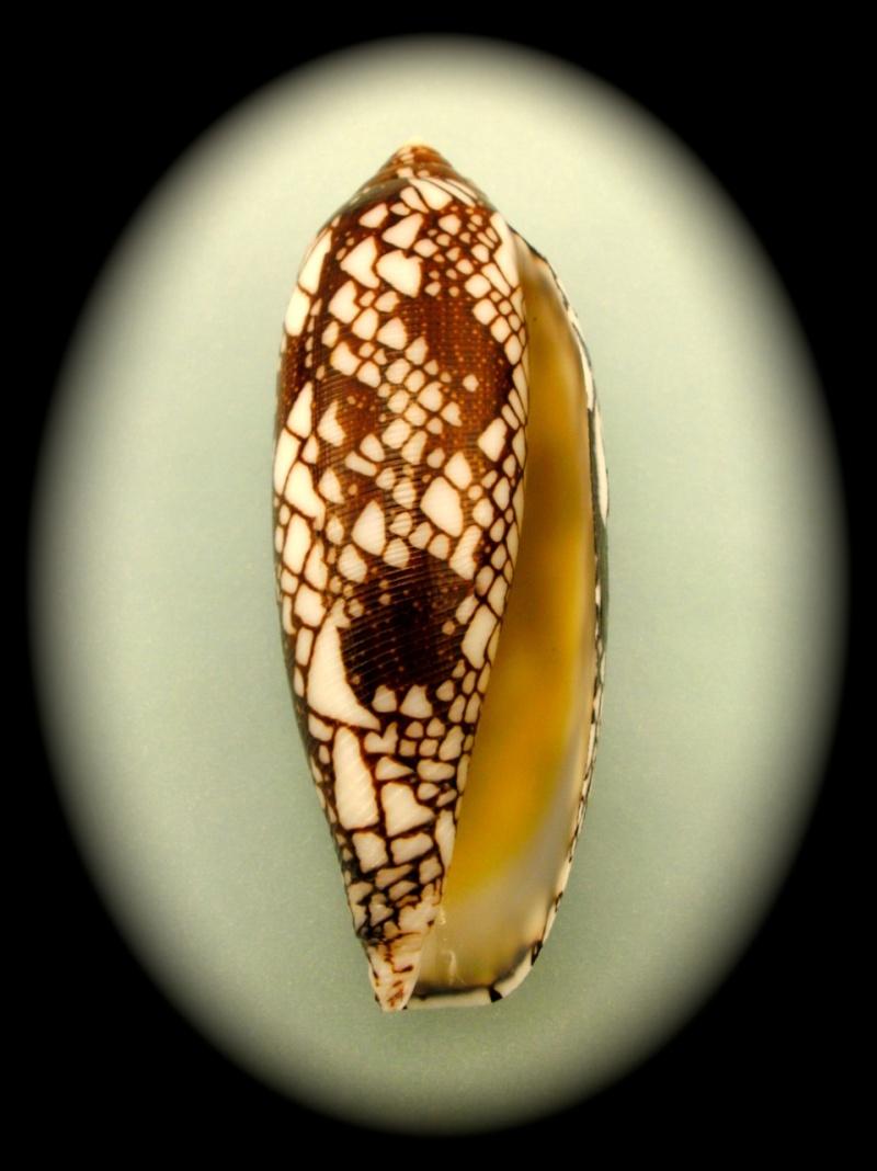 Conus (Darioconus) episcopatus   da Motta, 1982  Aulicu10