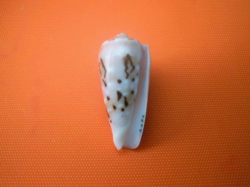Conus (Pionoconus) floccatus   GB Sowerby I, 1841 Dscn2213