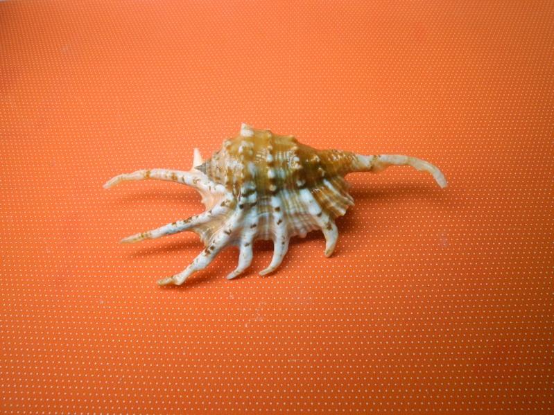 "Lambis scorpius - (Linnaeus, 1758) ""nain"" Dscn2219"