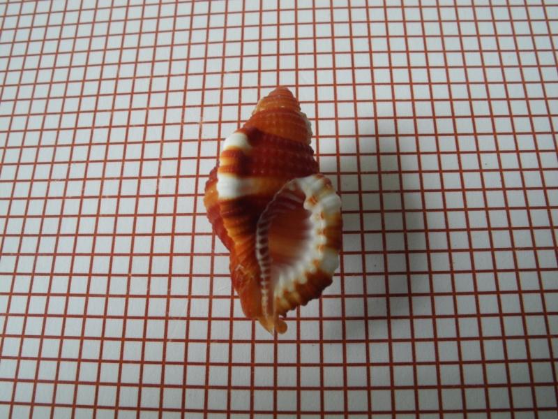 Septa rubecula - (Linnaeus, 1758) Dscn2233