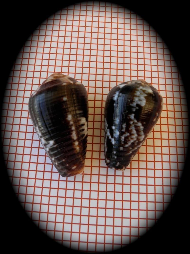 Conus (Pionoconus) catus   Hwass in Bruguière, 1792 Dscn2311