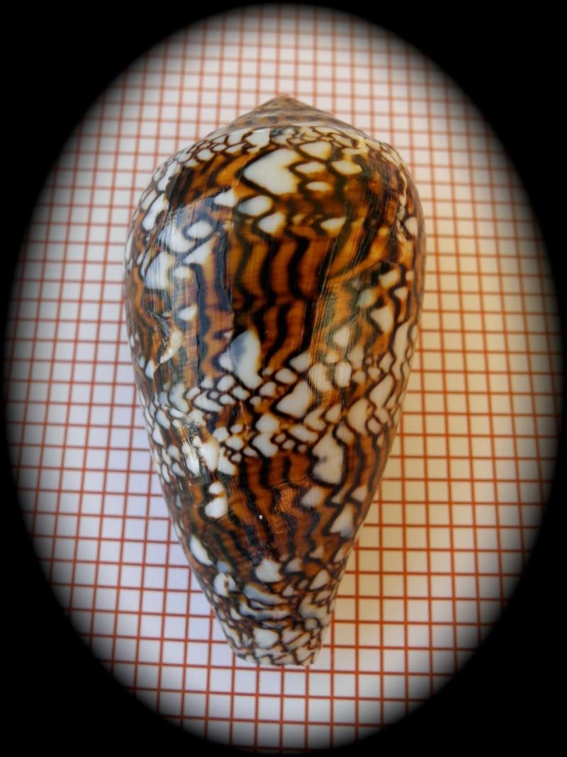 Conus (Cylinder) textile   Linnaeus, 1758 - Page 3 Dscn2315