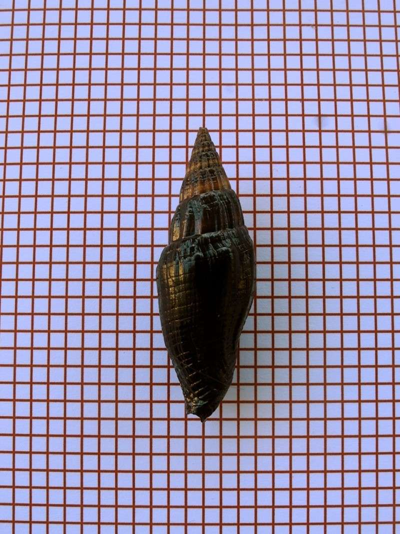 Vexillum vulpecula - (Linnaeus, 1758) Dscn2330