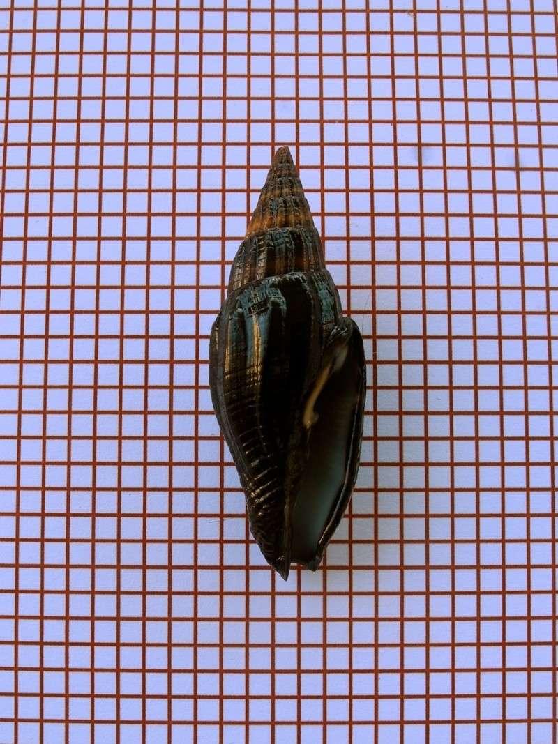Vexillum vulpecula - (Linnaeus, 1758) Dscn2331