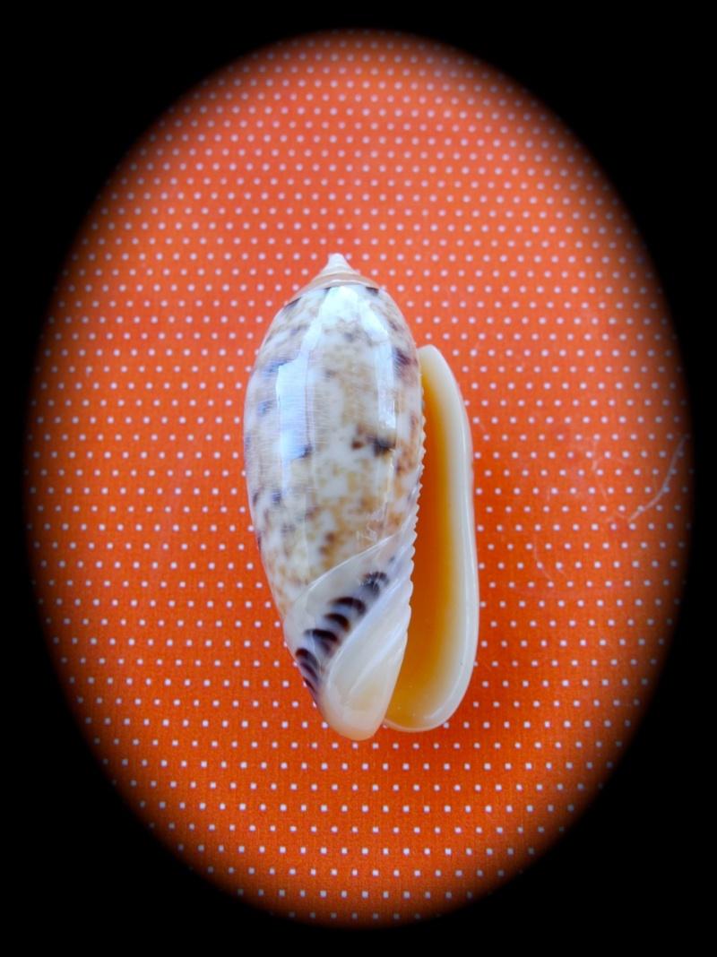 Annulatoliva annulata f. intricata (Dautzenberg, 1927) voir Annulatoliva mantichora (Duclos, 1840) Dscn2341