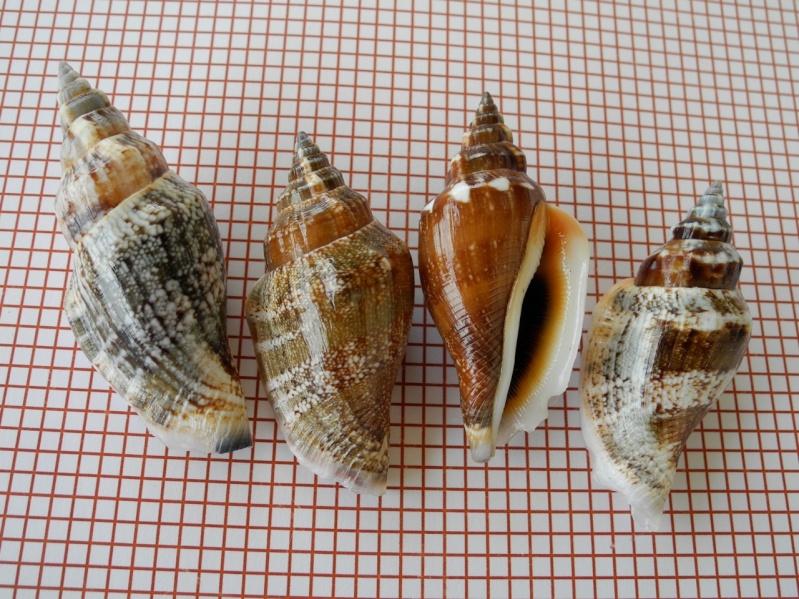 Canarium urceus - (Linnaeus, 1758)  Dscn2443