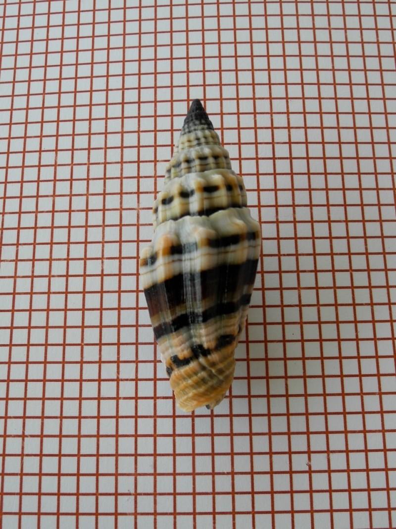 Vexillum plicarium - (Linnaeus, 1758)  Dscn2446