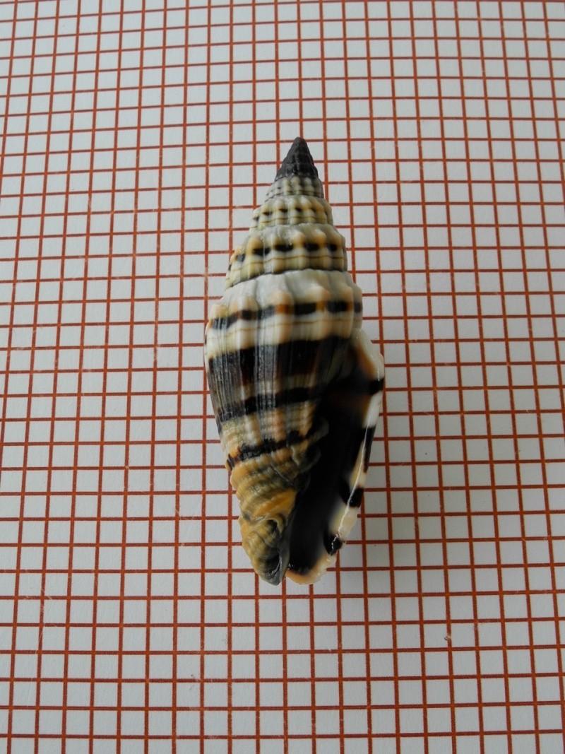 Vexillum plicarium - (Linnaeus, 1758)  Dscn2447