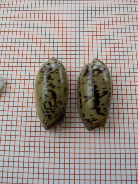Viduoliva vidua f. fulminans (Lamarck, 1810) Dscn2740