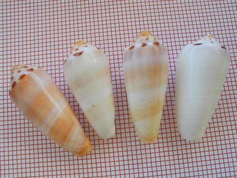 Conus (Pionoconus) circumcisus brazieri (Sowerby III, 1881) Dscn3310
