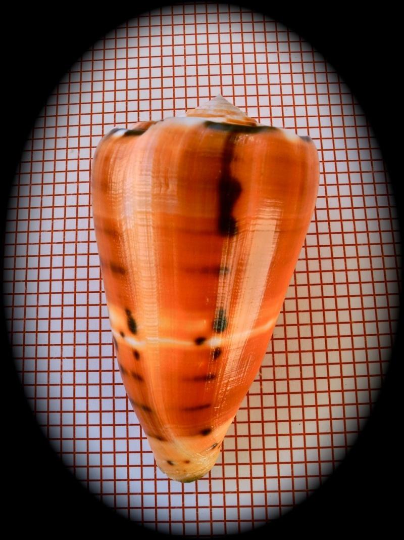 Conus (Pionoconus) barthelemyi  Bernardi, 1861 - Page 2 Dscn3442