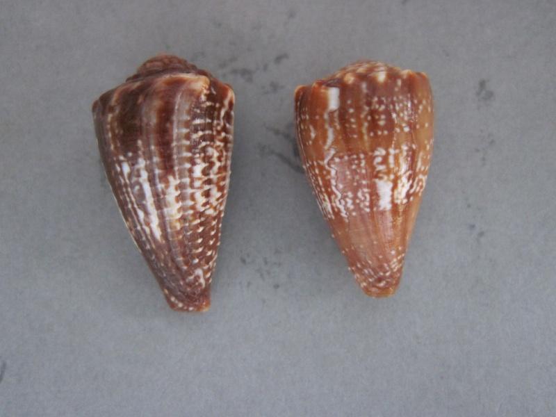 Conus (Phasmoconus) exiguus   Lamarck, 1810  Img_1811