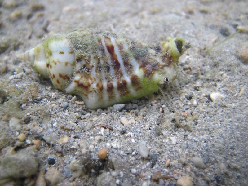 Gibberulus gibberulus gibbosus - (Röding, 1798) Img_4910