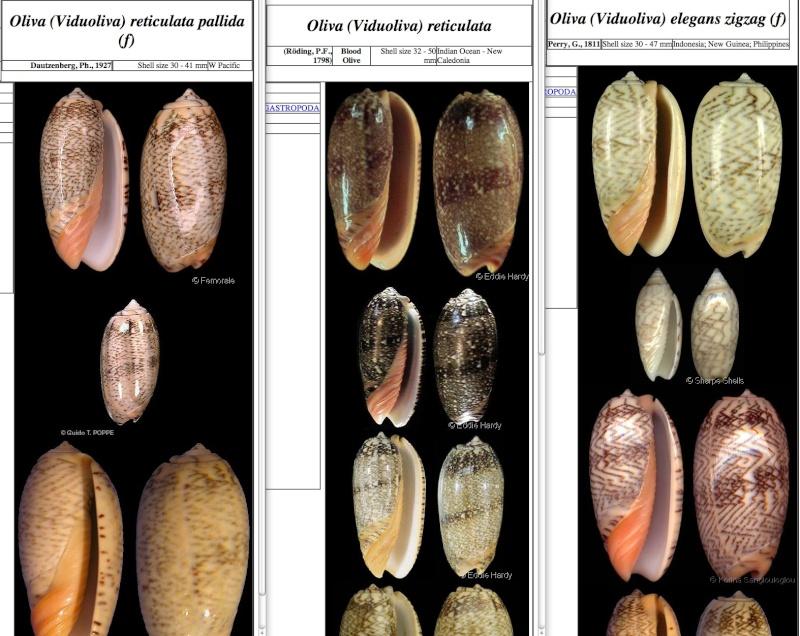 Viduoliva reticulata f. azona (Dautzenberg, 1927) Olive10