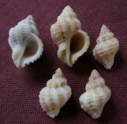 Coralliophila meyendorffii - (Calcara, 1845) 0023_c10