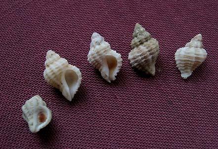 Coralliophila meyendorffii - (Calcara, 1845) 0023_c11