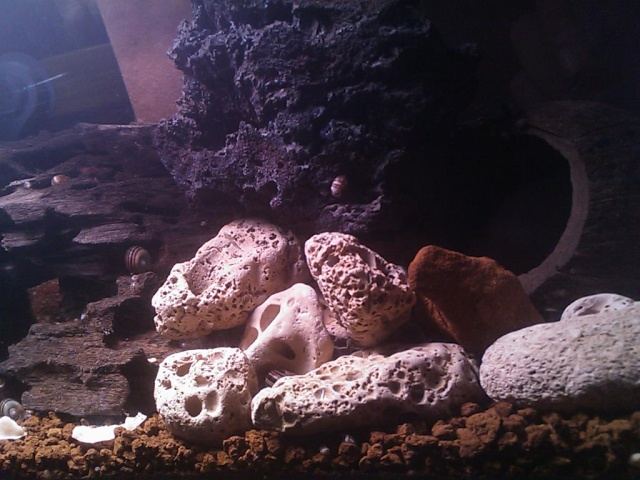 Bac à Escargots  (Marisa cornuarietis) 20L Dsc_0210