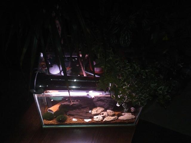 Bac à Escargots  (Marisa cornuarietis) 20L Dsc_0211