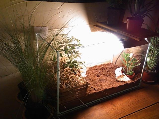 je vous présente le terratore... (Bébé tortue terrestre (Testudo hermanni hermanni) Dsc_0510