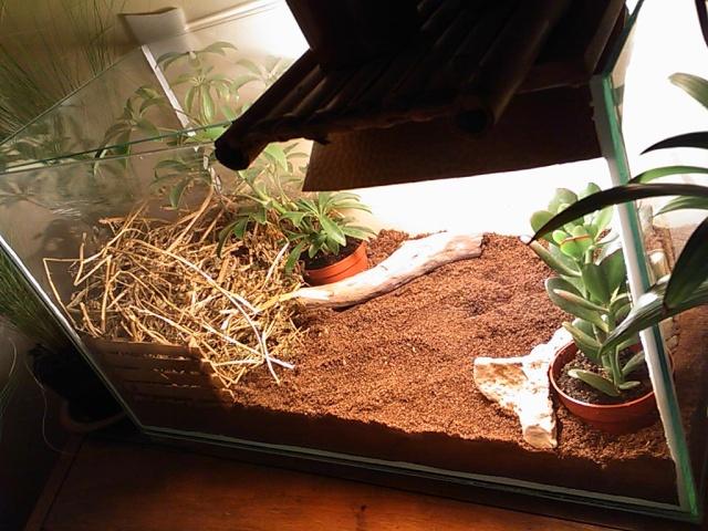 je vous présente le terratore... (Bébé tortue terrestre (Testudo hermanni hermanni) Dsc_0511