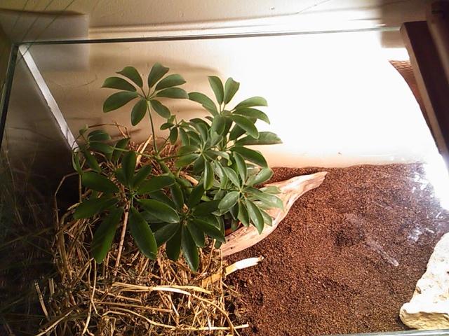 je vous présente le terratore... (Bébé tortue terrestre (Testudo hermanni hermanni) Dsc_0512