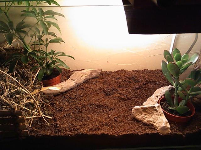 je vous présente le terratore... (Bébé tortue terrestre (Testudo hermanni hermanni) Dsc_0514