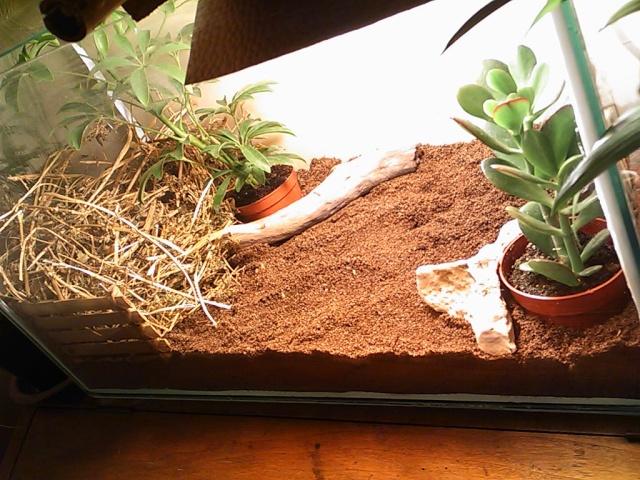 je vous présente le terratore... (Bébé tortue terrestre (Testudo hermanni hermanni) Dsc_0515