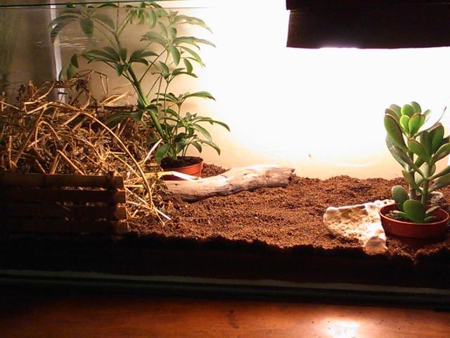 je vous présente le terratore... (Bébé tortue terrestre (Testudo hermanni hermanni) Dsc_0516