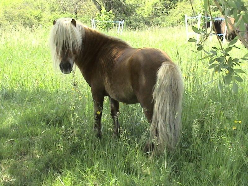 adorable shetland OI 1 an ( VENDU ) Poulai13