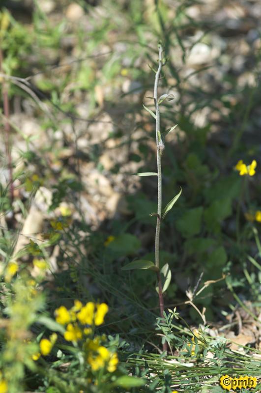 Un Epipactis microphylla sauvé par le téléphone Epmicr11