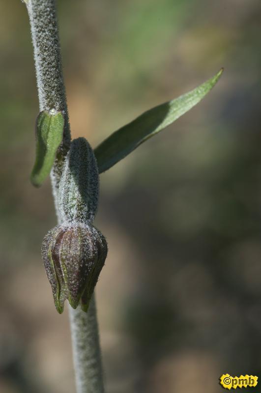 Un Epipactis microphylla sauvé par le téléphone Epmicr13