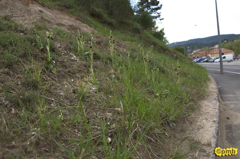 Des centaines d'Ophrys incubacea dans une zone commerciale Opincu10