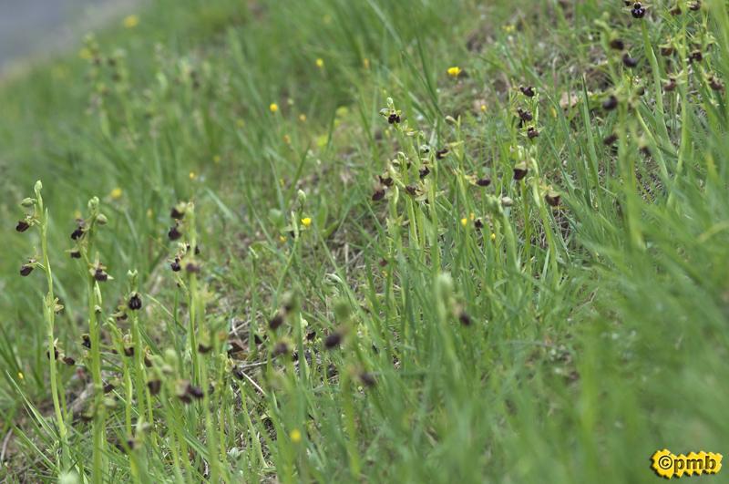 Des centaines d'Ophrys incubacea dans une zone commerciale Opincu12