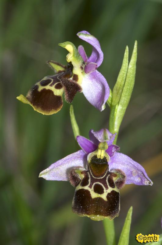 Ophrys vetula Opvetu10