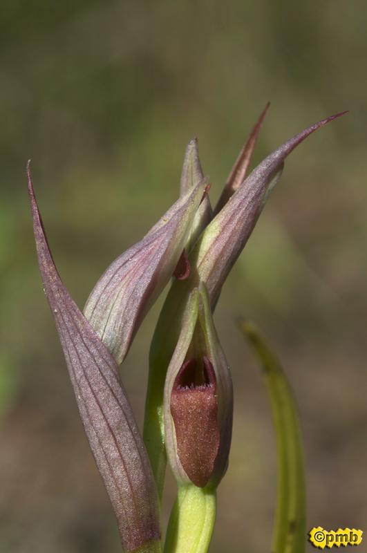 Serapias parviflora ( Sérapias à petites fleurs) Separv12