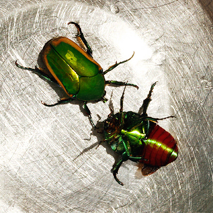 Brown flying beetles in STL? Cotini10