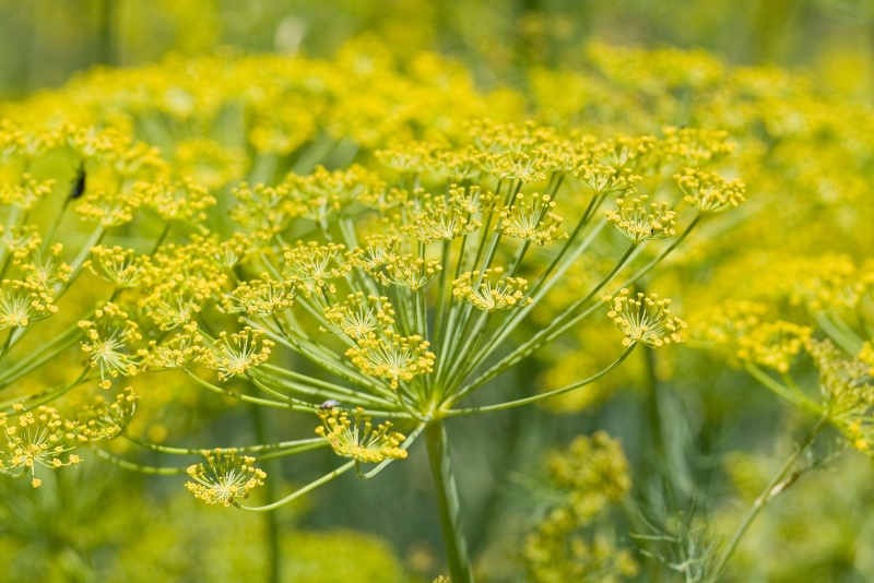 Friday Rookie Topic IX: Fennel Fennel10
