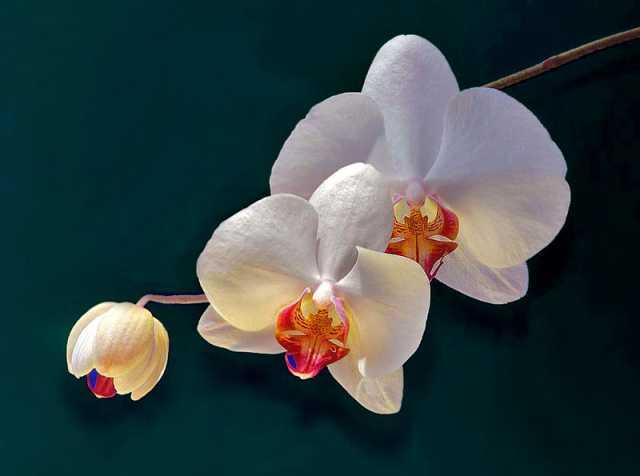 TANTI AUGURISSIMI - Pagina 5 Orchid10