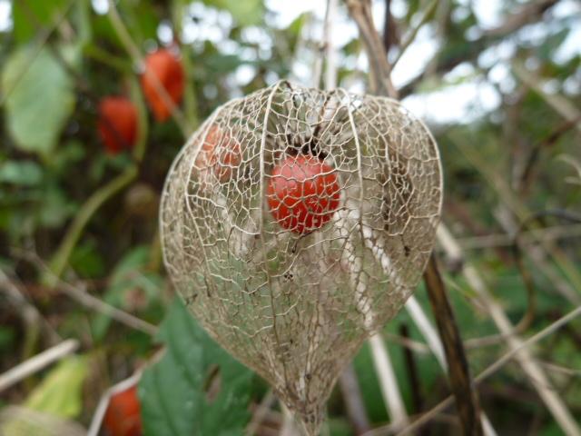 plantes, fleurs, fruits d'automne P1030117