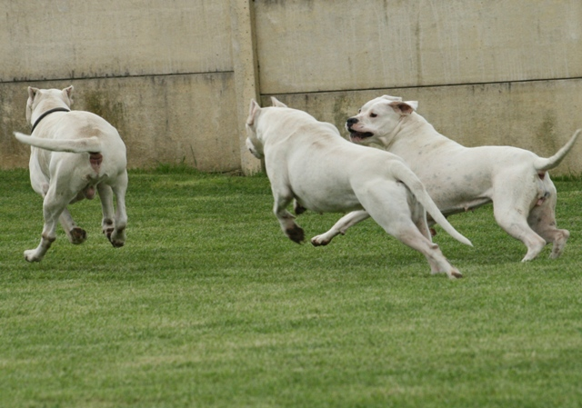 Dogo Argentino Dogoss10