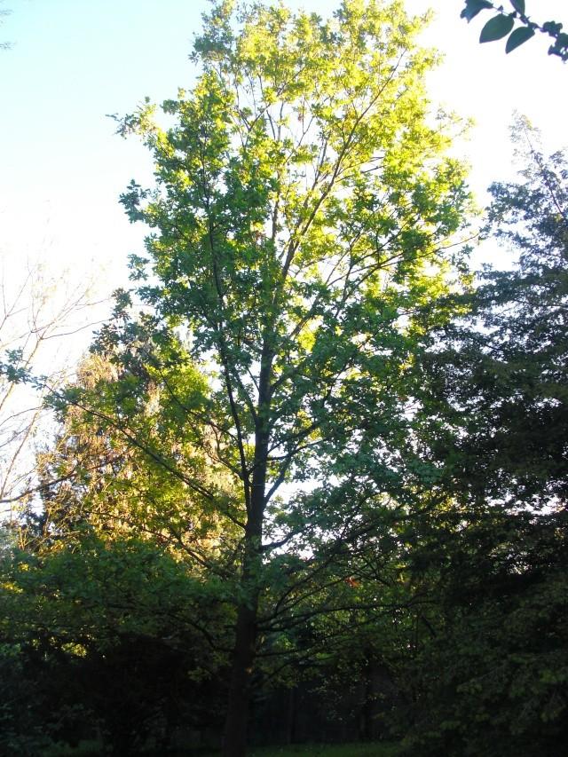 Le chêne de mon cousin Cimg7011