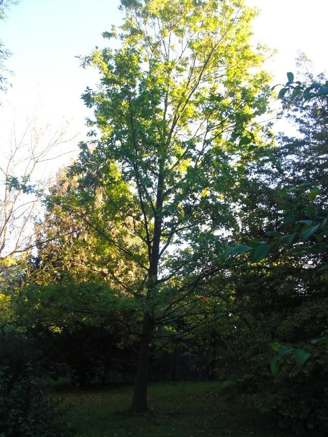 Le chêne de mon cousin Cimg7012