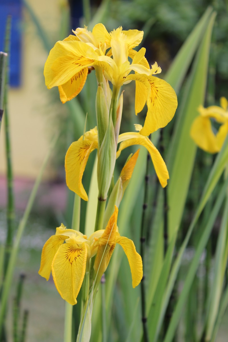 """Les iris du """"Gîte en Alsace"""" Img_1411"""