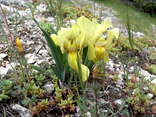 Iris reticulata - Page 2 Avril_10